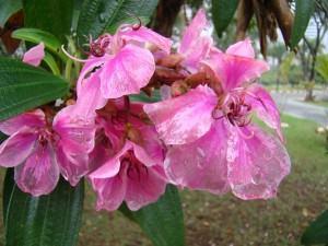 Manacá da Serra (Tibouchina mutabilis) flor