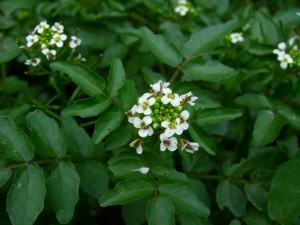 Agrião (Nasturtium officinale) flores