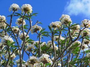 Jasmim manga (Plumeria rubra) florido