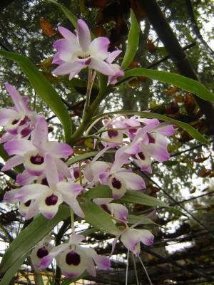 Dendrobium em orquidario caseiro