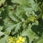 Mostarda (Brassica alba)
