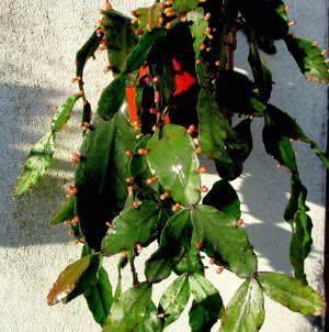 Rhipsalis elliptica