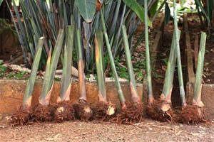 bananeiras rizomas