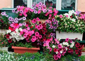 Flores Herbáceas Primavera/ Verão para Embelezar seu Jardim