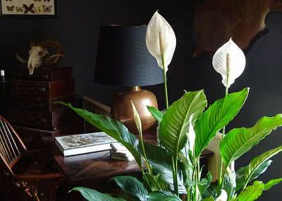 spatiphyllum ou spatifilo