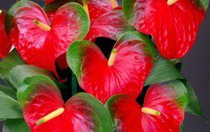 Antúrio (Anthurium andreanum)