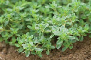 Tomilho (Thymus vulgaris)