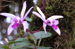 Como cultivar a Orquídea Cattleya Intermedia