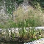 Sombrinha chinesa (Cyperus alternifolius)