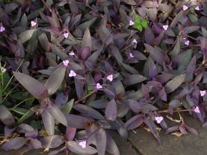 Trapoeraba roxa (Tradescantia pallida)