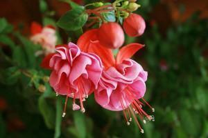 Plantas que atraem beija-flores e borboletas - Brinco de Princesa Rosa