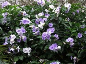 brunfelsia uniflora