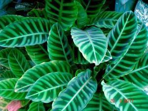 Maranta Zebrina (Calathea zebrina)
