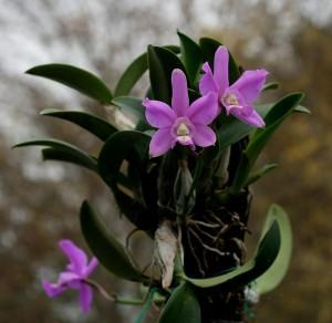 Orquídea Cattleya Intermedia (Cattleya Intermedia)