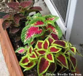 Coleus (Solenostemon scutellaroides) em  jardineira
