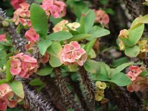 plantas tóxicas - coroa de cristo