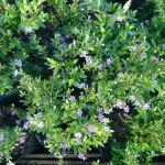 Falsa Érica (Cuphea gracilis)