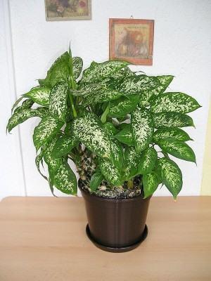 Comigo ninguem pode dieffenbachia amoena fazf cil for Planta ornamental venenosa dieffenbachia