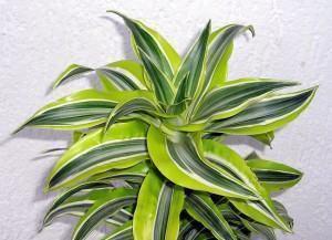 Dracena (Dracaena deremensis)