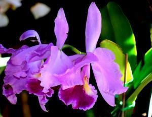 Cattleya tigrina (Cattleya leopoldii)