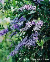 Flor de São Miguel cultivo