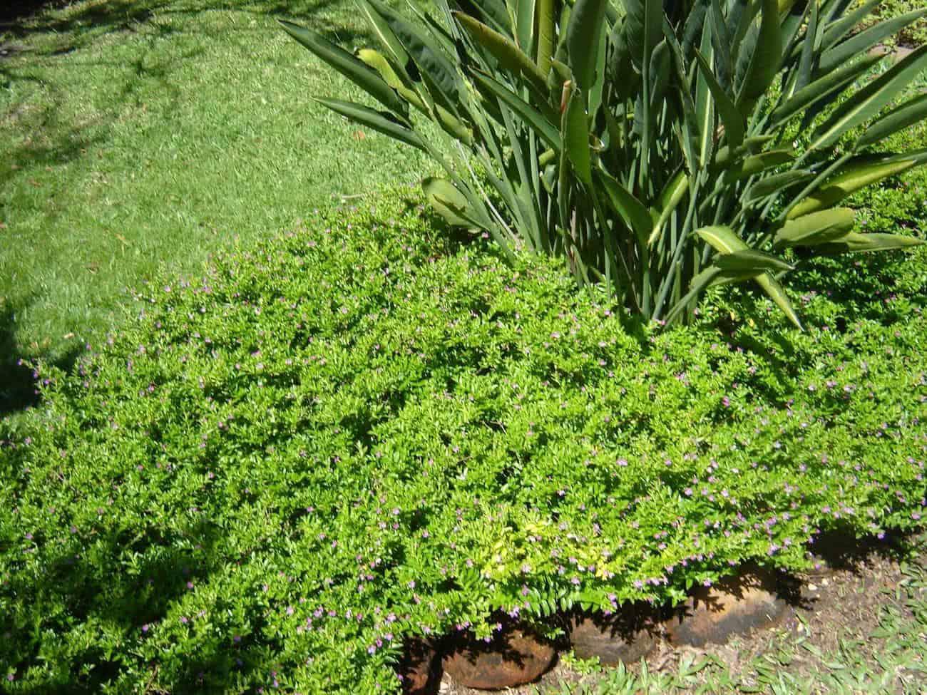 Dinheirinho (Pilea microphylla) FazFácil #89A625 2048x1536 Banheiro Cachorro Grama