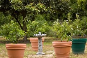 cultive frutas em vasos