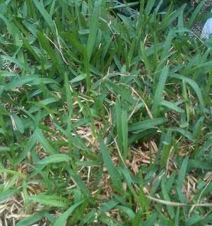 tipos de gramas - grama preta