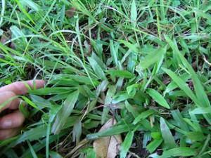 tipos de gramas grama sao carlos