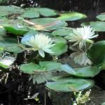 Plantas para colocar no lago
