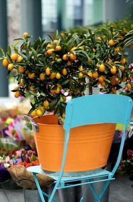 kumquat em vaso