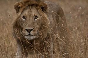 leao africano