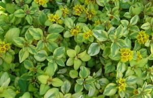 Lisimaquia (Lysimachia congestiflora)