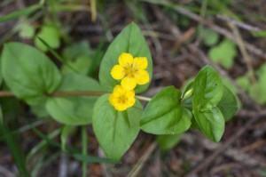 lisimaquia flor