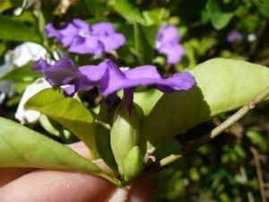 Manacá de Cheiro (Brunfelsia uniflora)