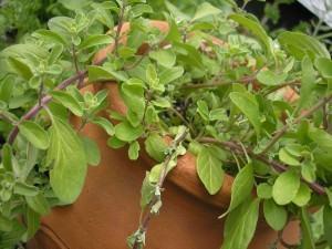 Manjerona (Origanum majorana)
