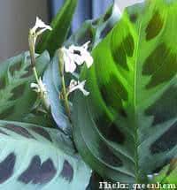 maranta-pena-pavao-flor