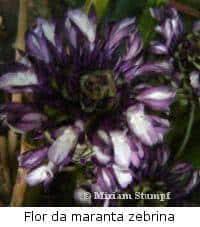 maranta-zebrina-flor
