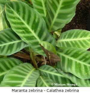 maranta-zebrina