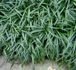 ophiopogon japonicus - grama preta