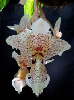 orquídea-stanhopea-oculata