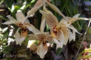 orquidea-stanhopea-oculata