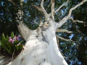 Espaços para Orquídeas  em Pau-ferro (Caesalpinia ferrea)