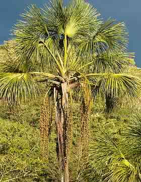 palmeiras_buriti