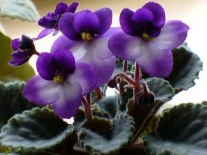 Como fazer mudas da violeta africana