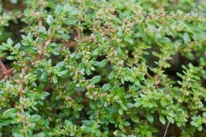 Dinheirinho (Pilea microphylla) flor e frutos