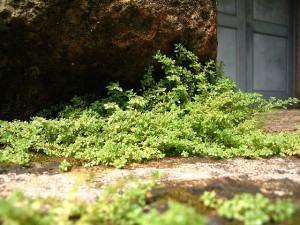 Dinheirinho (Pilea microphylla) no solo