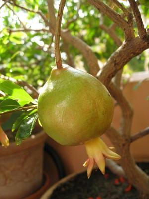 citrico em vaso romazeiro - punica granatum