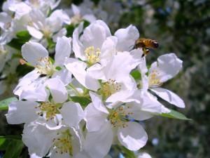 Flor de Mel (Alyssum maritimum (L.) Lam.)