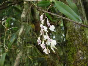 orquídea rodriguesia